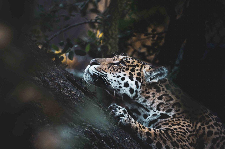 Siehu Photography. Jaguar, Leopard, Luipaard photo. Animal and Landscape photogrpher Siebe Hubers. Siehu Fotografie, fotograaf Siebe Hubers.