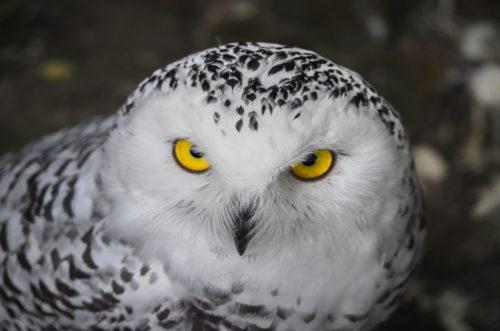 Sneeuwuil, Snow Owl. Siehu Photography. photogrpher Siebe Hubers. Siehu Fotografie, fotograaf Siebe Hubers.