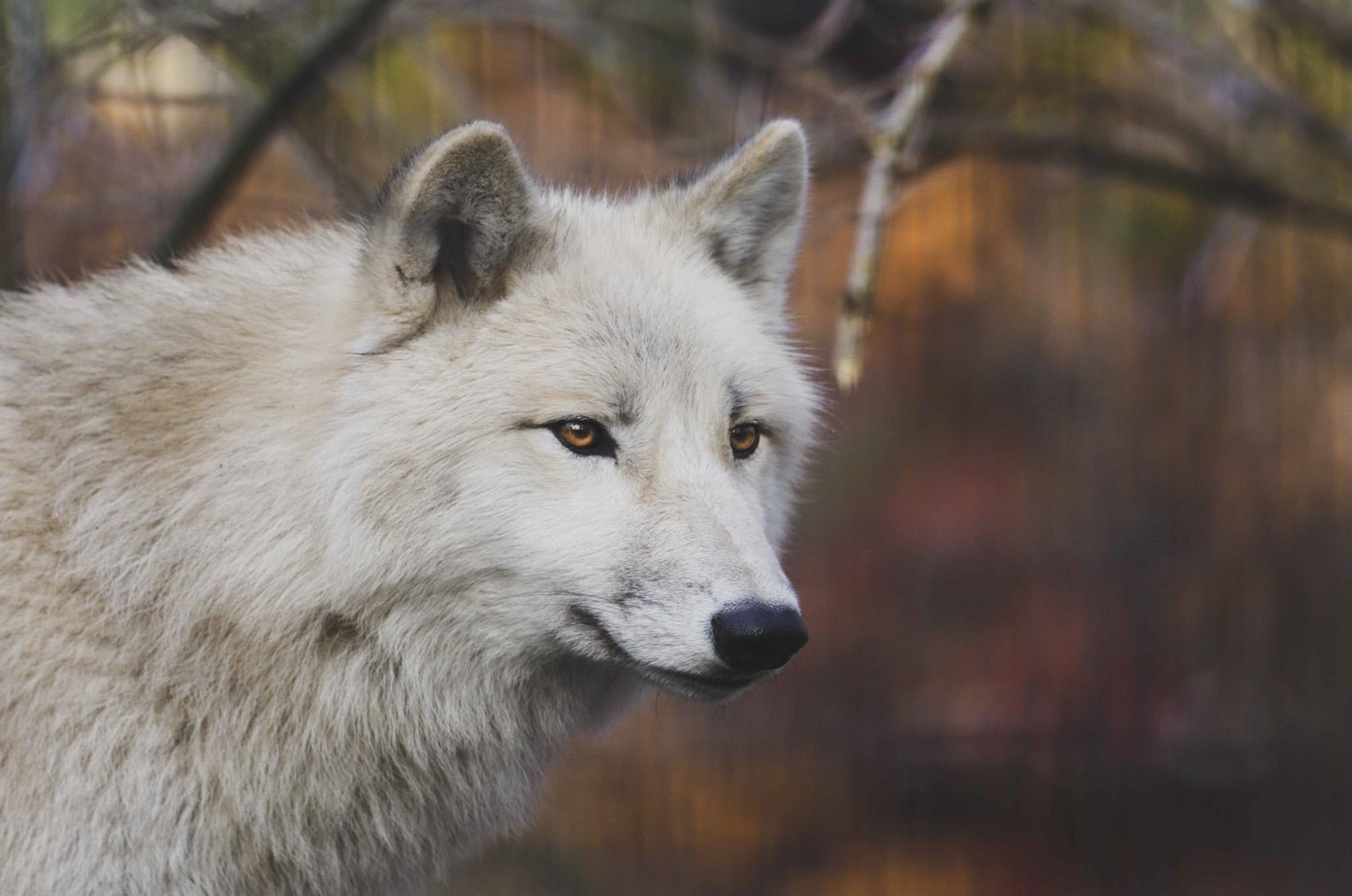 Hudson Bay wolf Animal, Wild life, Siehu-Photograpohy